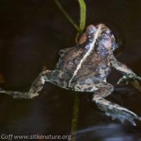Western Toad (Anaxyrus boreas)
