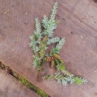 Hemlock (Tsuga heterophylla) Branch