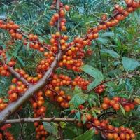 Seaberry Crop