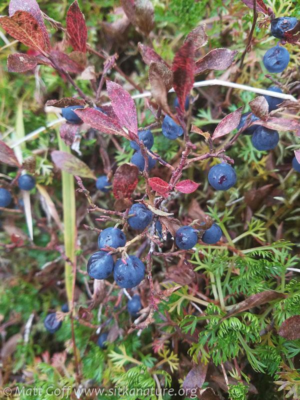 Dwarf Blueberries (Vaccinium cespitosum)