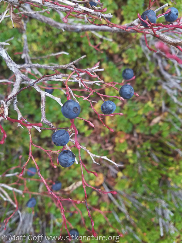 Early Blueberries (Vaccinium ovalifolium)