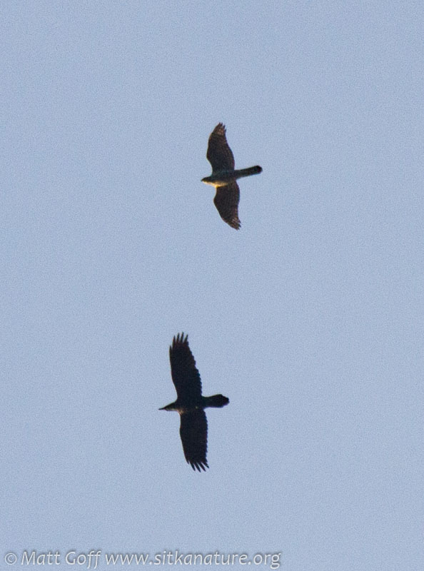 Raven and Goshawk
