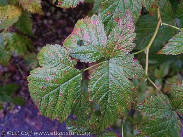 Salmonberry Leaf