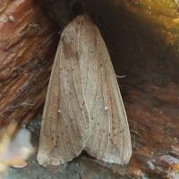 White-speck (Mythimna unipuncta)