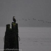 Cormorant on Piling
