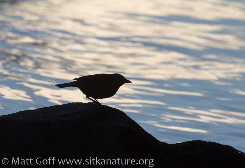 Rusty Blackbird Silhouette