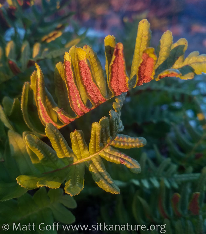 Licorice Fern (Polypodium glycyrrhiza)