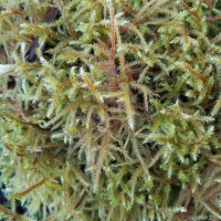 Lanky Moss (Rhytidiadelphus loreus)