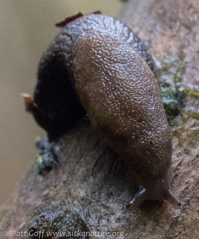 Taildropper Slug (Prophysaon sp)