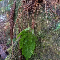 Wood-fern (Dryopteris expansa)