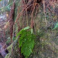 Wood-fern (Dryopteris expansa)