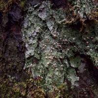 Fairy Puke lichen (Ichmadophila ericetorum)
