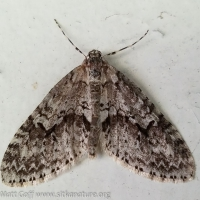Mottled Carpet (Cladara limitaria)