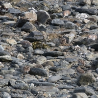 Shorebirds Blending In