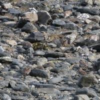 Shorebirds Blending In