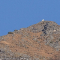 Mountain Goat on Ridge
