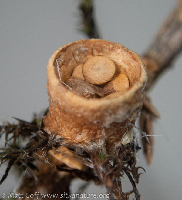 Birds Nest Fungus (Crucibulum sp)