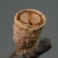 Birds Nest Fungus (Crucibulum sp)
