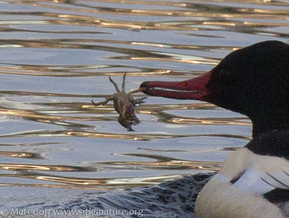 Common Merganser with Crab