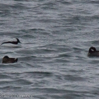 Ruddy Duck with Buffleheads