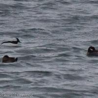 Ruddy Duck with Buffleheads