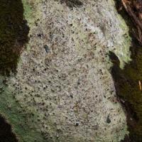 Brown Beret Lichen (Baeomyces rufus)