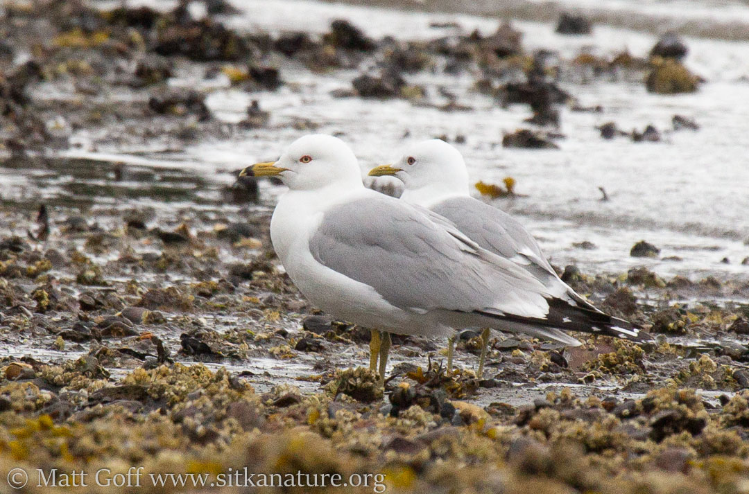 Ring-billed Gull and Mew Gull