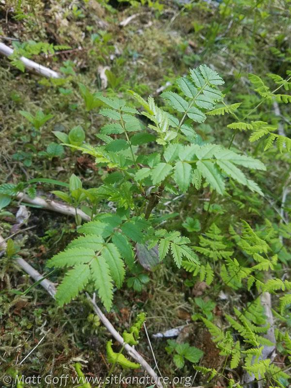 Mt. Ash (Sorbus aucuparia)