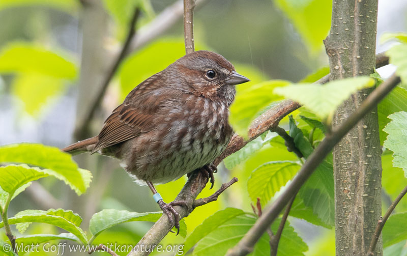 Adult Male Song Sparrow