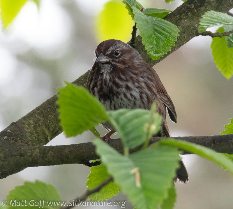 Adult Female Song Sparrow