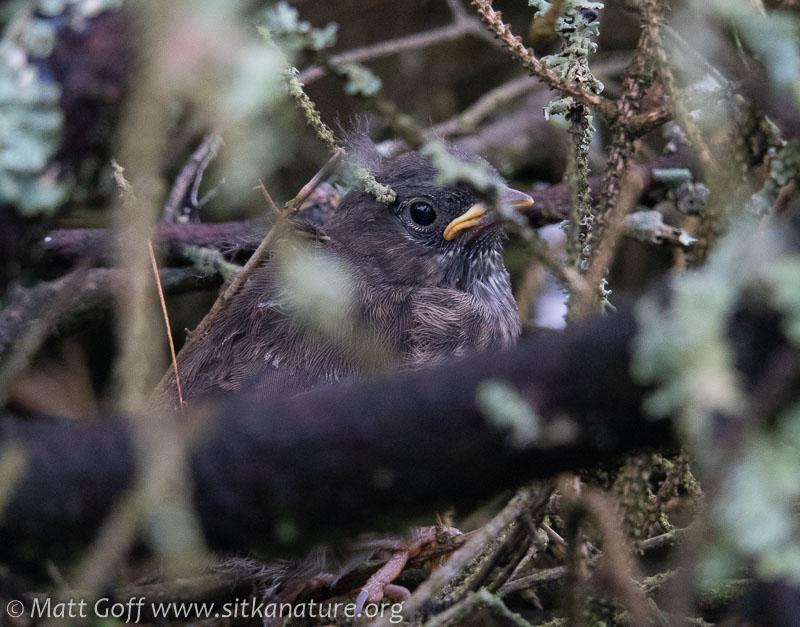 Song Sparrow Fledgling