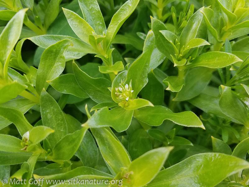 Beach Greens (Honckenya peploides)