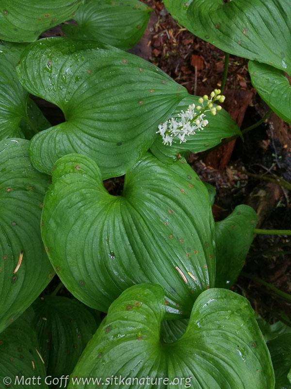Deerheart (Maianthemum dilatatum)