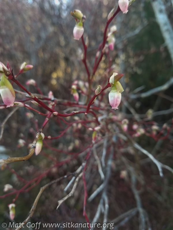Early Blueberry Flower