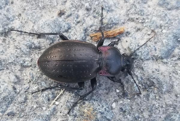 Ground Beetle (Carabus nemoralis)