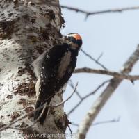 20180415-hairy_woodpecker.jpg