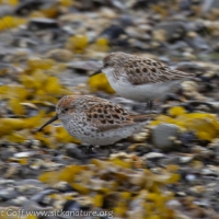 Western and Semipalmated Sandpiper