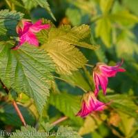 Salmonberry (Rubus spectabilis) flowers