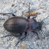 Ground Beetle (Carabus nemoralis)