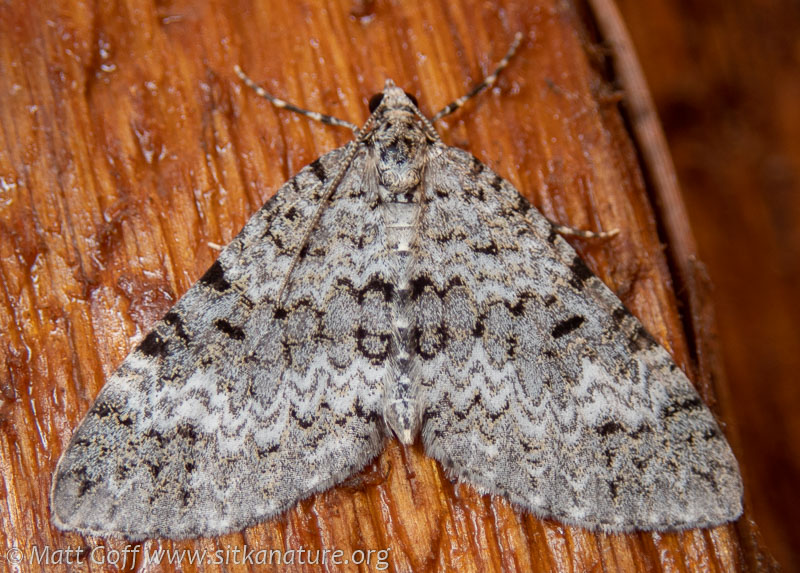 Double-banded Carpet (Spargania magniolyta)