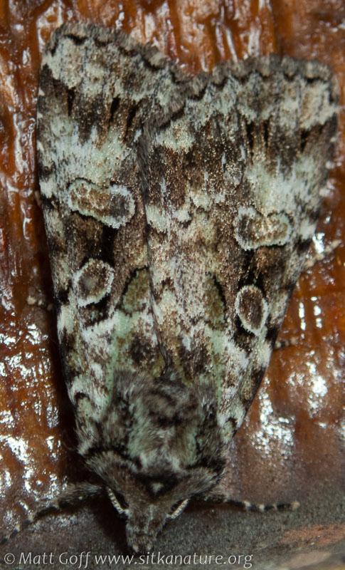 Green Arches (Anaplectoides prasina)