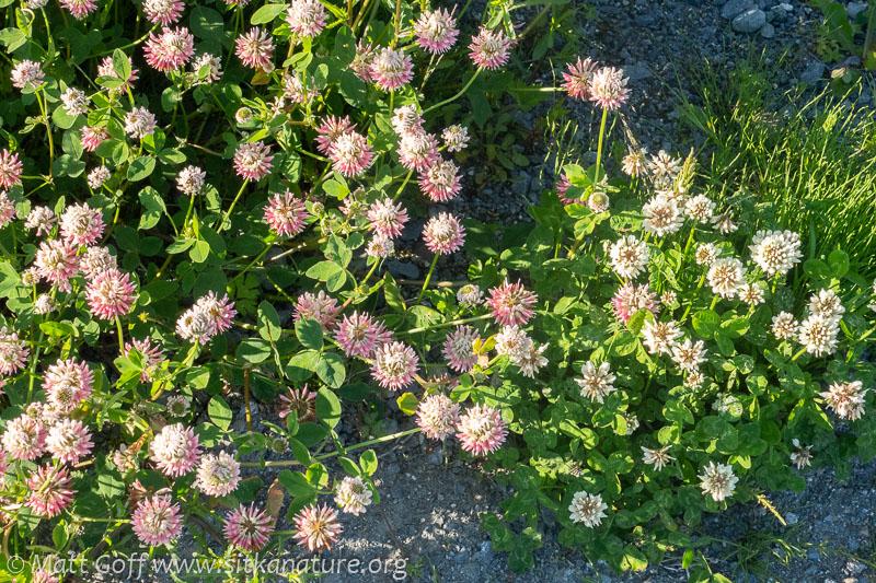 Clover (Trifolium spp)