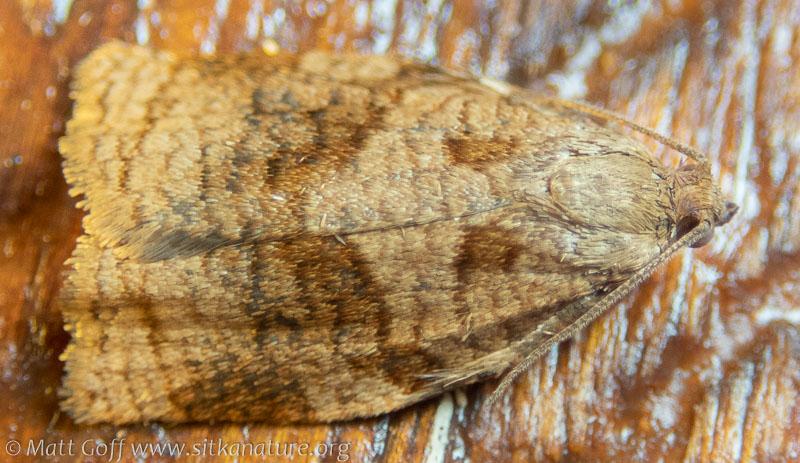 Rose Tortrix Moth (Archips rosana)