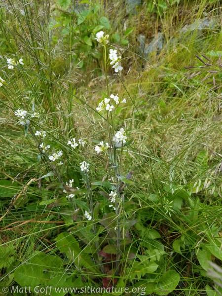 Slender Rockcress (Arabis pycnocarpa)