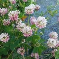 Alsike Clover (Trifolium hybridum)