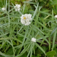 Pearlly Everlasting (Anaphalis margaritacea)