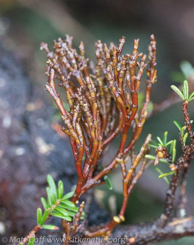Dwarf Mistletoe (Arceuthobium tsugense)