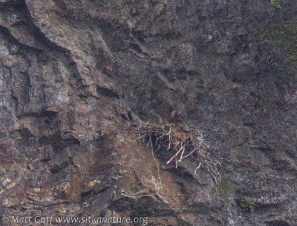 Golden Eagle at Nest