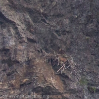 Golden Eagle at Nest