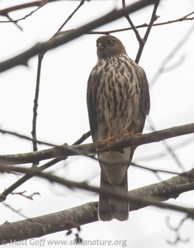 Immature Sharp-shinned Hawk